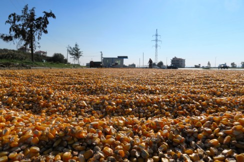 Corn drying next to the national road