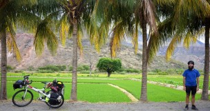 rice fields, palm trees and...